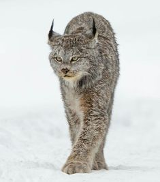 Lince canadiense. Canada Lynx, Animals And Pets, Cute Animals, Wild Photography, Kinds Of Cats, Wild Nature, Pose Reference, Big Cats, Neko
