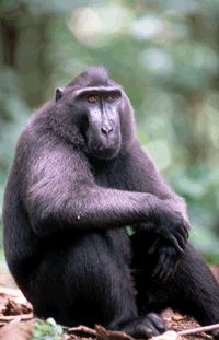 Sulawesi Macaque looking very thoughtful! https://www.pinterest.com/selamatkanyaki/sulawesi-crested-black-macaques-only-/