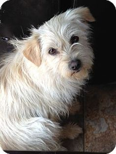 Fillmore, CA - Terrier (Unknown Type, Small) Mix. Meet Nicky, a dog for adoption. http://www.adoptapet.com/pet/13943613-fillmore-california-terrier-unknown-type-small-mix