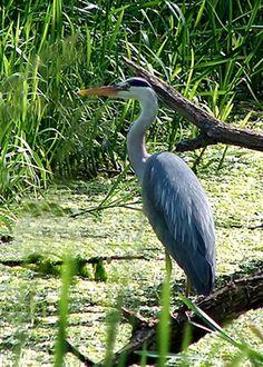 Blue Heron Pond Bird!