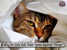 Why Do Cats Rub Their Faces Against Things?http://www.sweetiekitty.com/cat-care/why-do-cats-rub-their-faces-against-things/  #cat #kitty #catlover