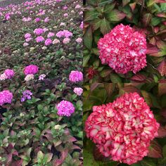 Hydrangea Endless Summer range Endless Summer Hydrangea, Big Plants, Plant Nursery, Shrubs, Trees, Vivarium, Tree Structure, Shrub, Wood