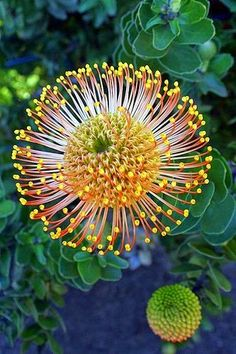 Pincushion protea (Leucospermum cordifolium), at Monte Palace Tropical Garden, Monte, Funchal, Madeira Island. Photo by Virgilio Silva Portugal Unusual Flowers, Unusual Plants, Exotic Plants, Amazing Flowers, Tropical Garden, Tropical Flowers, Colourful Garden, Pretty Flowers, Wild Flowers