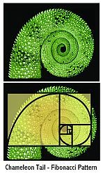 Chameleon tail:  The simplest form of self-similarity in nature seems to be from the Fibonacci spiral, which occurs as an organism grows such that its proportions remain constant.It is a simple recurrence of pattern and ratios that create beautiful forms.