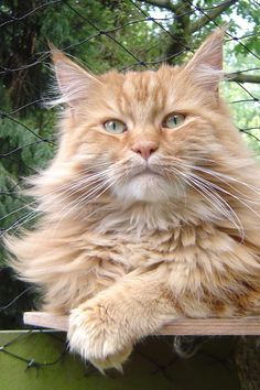 fluffy maine coon