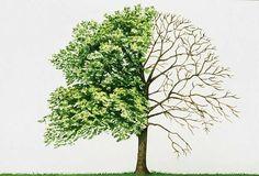 WALNUT TREE - Google Search