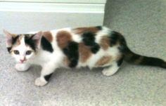 Calico-Kitten is an adoptable Calico Cat in Dover, TN. Calico-Kitten - about 15 weeks old.  Very playful, yet off-standish.  Not a lap cuddler (at least not at this point).  Adoption Fee $75, includes...