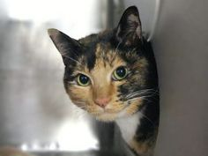 *** TO BE DESTROYED 09/20/17 *** MINERVA was surrendered to the shelter for allergies - she is not happy and a bit hissy. She is a 4 yr old spayed girl who needs a new furever home.