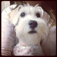 Mila bb, puppy, dog, schnauzer, white
