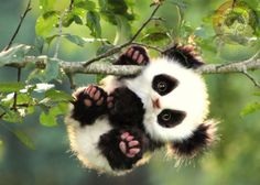 Baby panda bear clinging for a tree branch Baby Animals Super Cute, Cute Little Animals, Cute Funny Animals, Baby Animals Pictures, Cute Animal Pictures, Animals And Pets, Zoo Animals, Baby Panda Pictures, Adorable Pictures