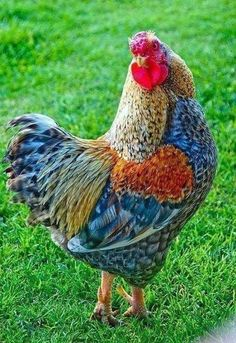 Fancy Chickens, Chickens And Roosters, Chickens Backyard, Bantam Chickens, Pretty Birds, Beautiful Birds, Animals Beautiful, Beautiful Pictures, Farm Animals