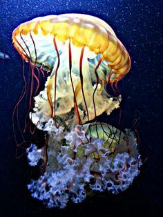 Jelly fish it looks like its wearing a dancing skirt #OasisLovesU #OasisPinspiration