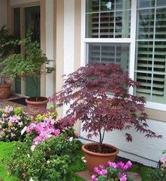 Japanese maple in a container. Zones Article recommends against potting soil/gardening mix, but isn't clear on the alternative. Japanese maple in a container. Zones Article recommends against potting soil/gardening mix, but isn't clear on the alternative. Japanese Maple Garden, Japanese Red Maple, Container Plants, Container Gardening, Potted Trees, Front Yard Landscaping, Shade Garden, Garden Planning, Garden Inspiration