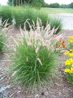Ornamental Fountain Grass to Grow in Your Garden Perennial Grasses, Ornamental Grasses, Perennials, Fountain Grass, Low Maintenance Plants, Garden Ornaments, Summer Garden, Horticulture, Trees To Plant