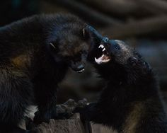 Wolverines (Gulo gulo). Photo by Steve (at https://www.flickr.com/photos/24429795@N04/24701281326/).