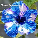 Grand-Lazerus Hibiscus, Hibiscus Seeds, 10 graines, vivaces Hibiscus, fleur d& Unusual Flowers, Types Of Flowers, Amazing Flowers, Beautiful Flowers, Hibiscus Plant, Hibiscus Flowers, Tropical Flowers, Purple Flowers, Flowers Perennials