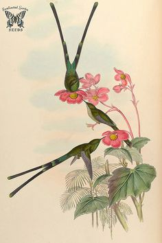Begonia cinnabarina. A monograph of the Trochilidæ, or family of humming-birds, vol. 3 (1861) [J. Gould & H.C. Richter]