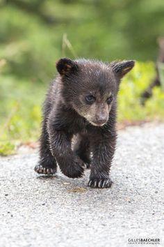 Black bear cub. Jasper National Park, Alberta, Canada