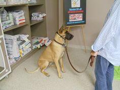 Thatcher! Dog Classes, Labrador Retriever, Dogs, Animals, Labrador Retrievers, Animales, Animaux, Pet Dogs, Doggies