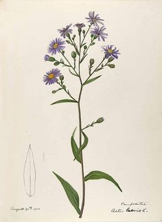Aster laevis L., especially New England, by Helen Sharp