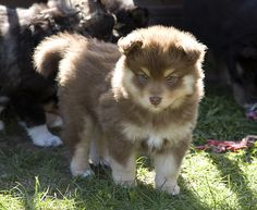 This is a Finnish Lapphund and this will be mine.