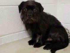 This DOG - ID#A458635 I am a male, black Brussels Griffon mix. My age is unknown. I have been at the shelter since May 09, 2016. This information was refreshed 2 minutes ago and may not represent all of the animals at the Harris County Public Health and Environmental Services.