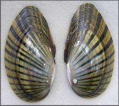 Shinyrayed Pocketbook   Lampsilis subangulata (I. Lea, 1840) Shinyrayed Pocketbook