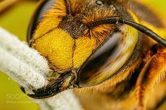 European Wool Carder Bee II by dalantech. @go4fotos