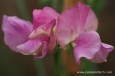 Lathyrus odoratus 'Misty' produces pretty pale mauve flushed flowers on a white ground.