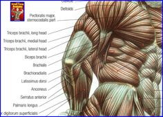 chest muscles below - Google Search