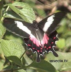 Embora grande e vistosa, a Borboleta é evitada por predadores como os pássaros, pois assimila um veneno da única planta-alimento de suas lagartas, Aristolochia macroura. Plantas Hospedeiras: Aristolochia.