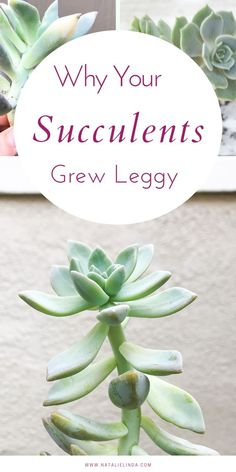 Why Your Succulents Grew Leggy If your succulents are losing their shape, there's a reason why. Learn how you can prevent your succulents from losing their tight, compact shape plus get some propagation tips! Succulent Care, Succulent Gardening, Container Gardening, Succulent Landscaping, Succulent Terrarium, Succulent Garden Diy Indoor, Vertical Succulent Gardens, Succulent Ideas, Terrarium Ideas