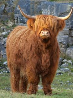 Highland Cow - When the day comes that we can invest in a little livestock these will be on the list ! Cute Baby Cow, Baby Cows, Cute Cows, Cute Baby Animals, Farm Animals, Animals And Pets, Funny Animals, Scottish Highland Cow, Highland Cattle