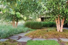 grasses and sedges create a soft, green backdrop for the orange-tinged, rough-textured trunks of river birch trees.