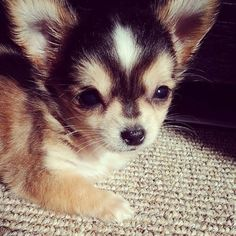 Adorable puppy!  #Puppy #chihuahua #cuteness #love