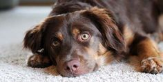 Auto Vaccine can help you with #pet #stain and #odor removal, so that your #carpets and upholstery look great and smell #fresh once again.http://bit.ly/Z9hLcu