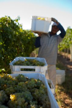 On February 6th, Bodega Del Fin del Mundo started its #harvest2013. The first grapes picked were Chardonnay and Pinot Noit for the base wines for sparklings. The winery forecasts a great grape harvest! | Vía @Wine Sur
