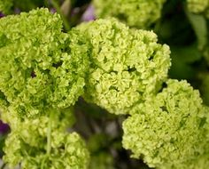small cluster virburnum...can be tucked into bouquets, boutoniere and floral arrangements