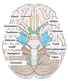 Les nerfs crâniens ont la particularité d'émerger directement du cerveau et du tronc cérébral. On les oppose aux nerfs spinaux qui pour leur part émergent dans la moelle épinière.