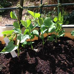 The peas are thriving... But where are the dwarf beans?