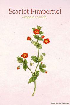 Scarlet Pimpernel (A