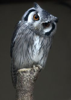 . Southern White-Faced Owl