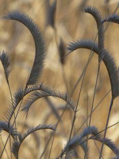 Blue Grama grass in Winter