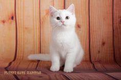 male SFS71 Fluffy cats` Kapitan w 63 3 months
