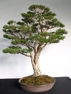 Another Bonsai That Looks Like a Tree - Before & After – Stone Lantern Bonsai Tree Care, Bonsai Art, Bonsai Plants, Bonsai Garden, Stone Lantern, Bonsai Styles, Native Australians, Go Green, Gardens