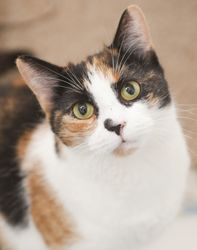 Madeline is an adoptable Calico Cat in New York, NY. Madeline was transferred to us from the shelter city after being surrendered by her owner due to moving. She is a very sweet and loving feline who ...