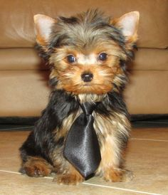 """""""Duke""""of Yorkie 10 weeks old 2lbs 3oz.. Yorkshire Terrier my first and best puppy ever. Animals , pets , man's best friend"""