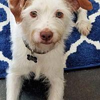 Oklahoma City Ok Maltese Meet Gidget A Pet For Adoption