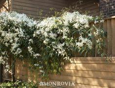 Evergreen Clematis - Monrovia - Evergreen Clematis
