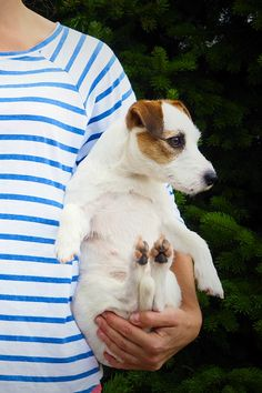 Cutest little jack russell terrier puppy in dog moms lap. Doggy baby, dog photography.